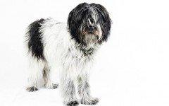 Razas de Perro: Schapendoes caracteristicas y cuidados