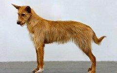 Razas de Perros: Podenco portugues caracteristicas y cuidados