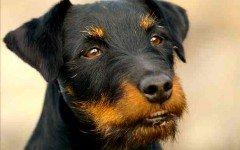 Razas de Perros: perro Terrier alemán caracteristicas y cuidados