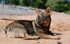 Razas de Perros: Vallhund sueco caracteristicas