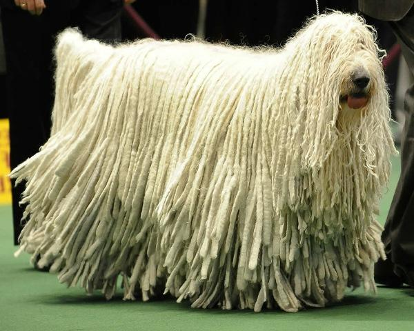 The Komondor dog is a flock-guarding sheepdog from Hungary. Today, he still has a protective nature and will defend his family and house with his life.