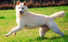 The Korean Jindo dog is one with a loyalty like no other. This dog requires a family that can meet his lively and active nature.