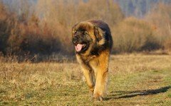 The Leonberger Dog is a giant dog that results from the mixing of the Saint Bernard, the Great Pyrenees, and the Newfie. He's an energetic working dog.