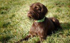 Razas de Perros: Pudelpointer caracteristicas y cuidados