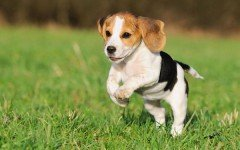 Dog Breed: Pocket Beagle dog characteristics and Personality