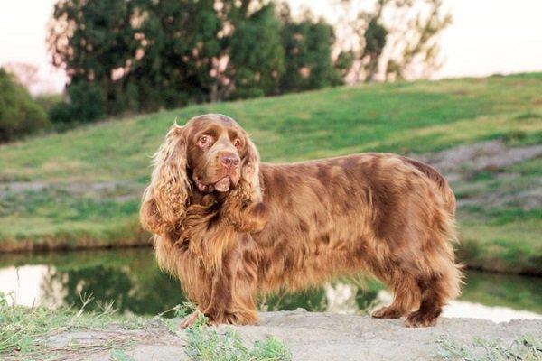 Razas de Perros: perro Sussex spaniel caracteristicas y cuidados