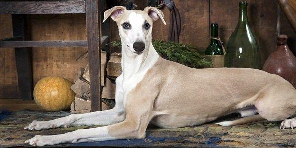 Razas de Perros: Whippet caracteristicas y cuidados