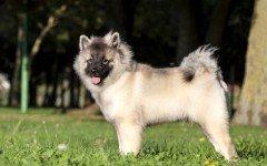 Razas de Perros: Wolfsspitz caracteristicas y cuidados