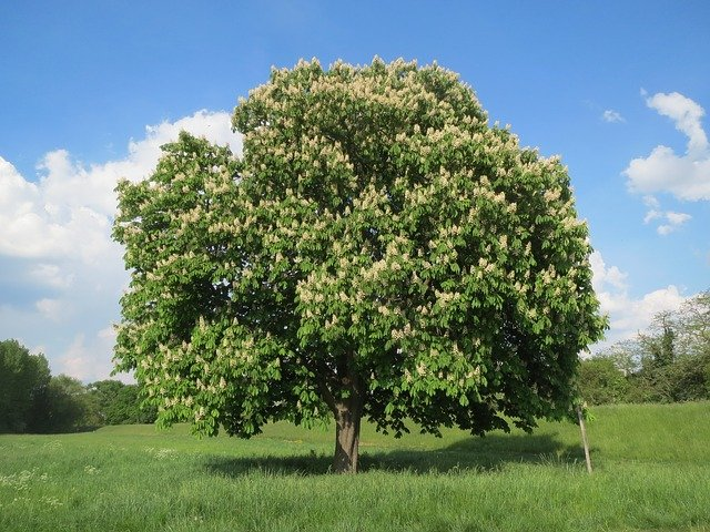 Ippocastano: i benefici e la tossicità di questa pianta