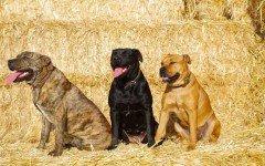 Razas de Perros: Perro dogo mallorquin caracteristicas
