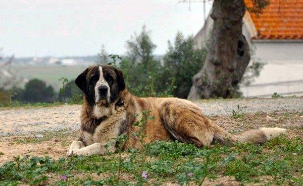 Razas de perros: perro Rafeiro do Alentejo caracteristicas