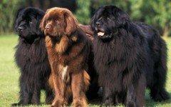 Razas de Perros: perro Terranova caracteristicas y cuidados