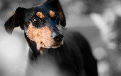 Enfermedades de los perros Pinscher