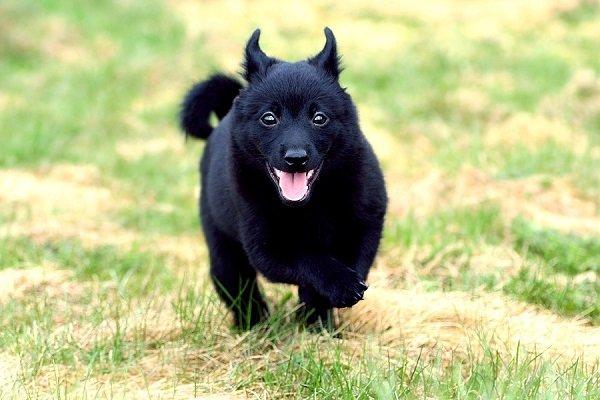 Razas de Perros: perro Schipperke caracteristicas y cuidados
