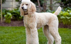 Razze cani: il Barbone, carattere e caratteristiche