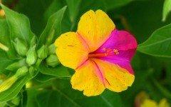 Bella di notte: pianta ornamentale tossica per gli animali