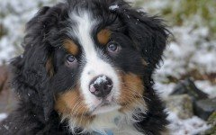 The Bernese Mountain Dog Puppies are really affectionate little fellas that will grow up to be an 80-100 lb dog. Train him as soon as you bring him home.