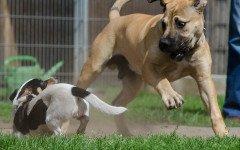 I cani piccoli litigano con quelli più grandi perché?