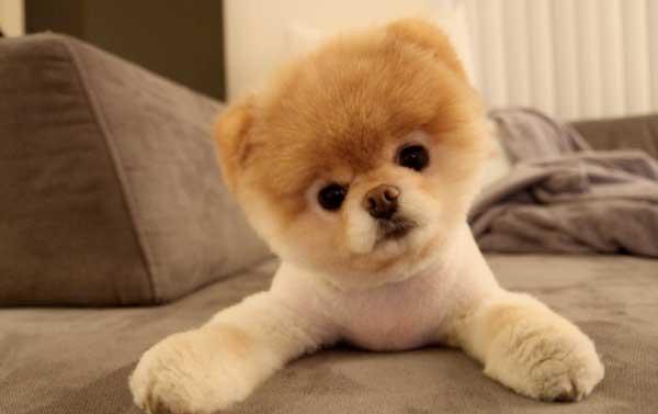La razza del cane Boo, carattere e caratteristiche