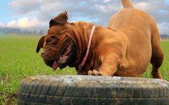 Giochi per cani molossi: quali sono i migliori?