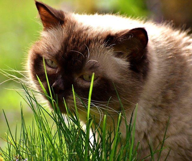Erba gatta: i benefici di questa pianta sui pelosi