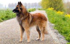 Razas de Perros: Tervueren caracteristicas y cuidados
