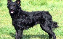 cane pastore croato
