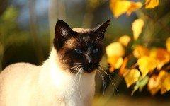 Alimentazione del gatto siamese: come deve essere?