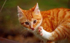 Enfermedades de los Gatos: Dermatitis alérgica felina