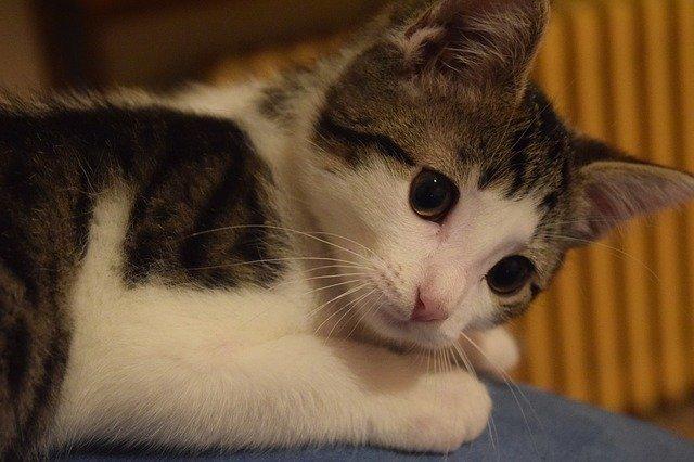Lussazione atlanto-epistrofea nel gatto: cause e cura