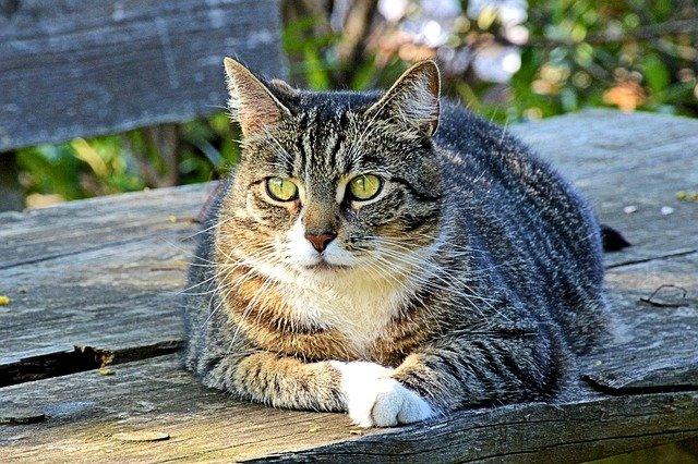 Alimentazione del gatto diabetico: come deve essere
