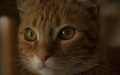 Iperplasia mammaria felina: sintomi, cause e terapia
