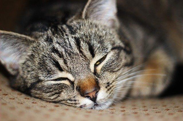 Gatto che dorme con gli occhi aperti
