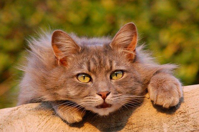 blocco vescicale nel gatto