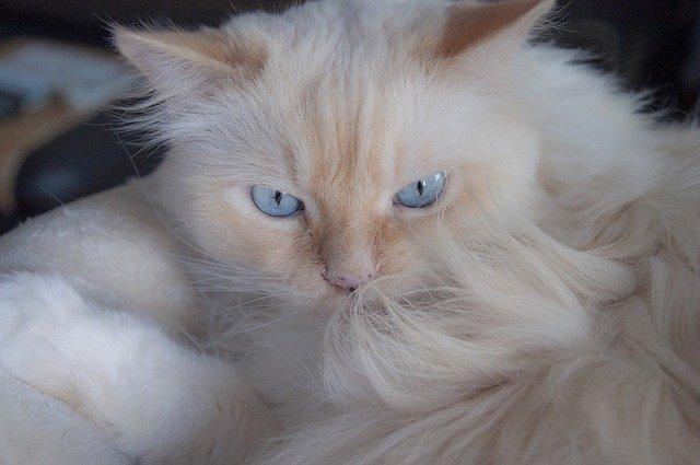 Le razze di gatti che perdono più pelo, quali sono?