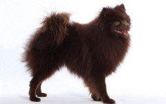 Razas de Perros: perro Spitz mediano caracteristicas