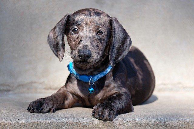 Enfermedades comunes de los perros salchicha
