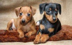 Pinscher dogs