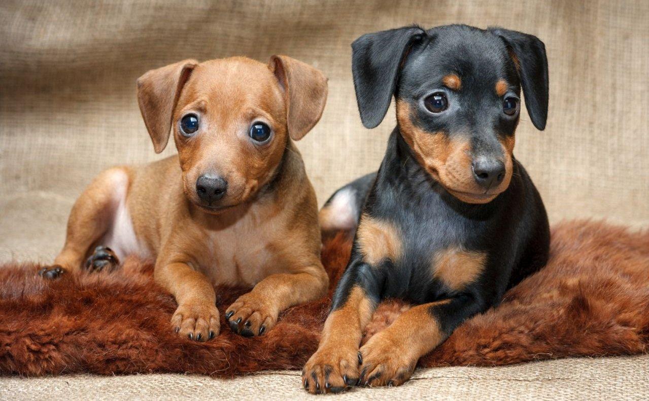 Pinscher dogs let 39 s discover the pinschers breeds dogalize for Pinscher temperamento