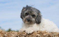 Razze Cani: il Lowchen, carattere e prezzo