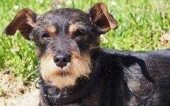Mucopolisaccaridosi nel cane: cause, sintomi e terapia