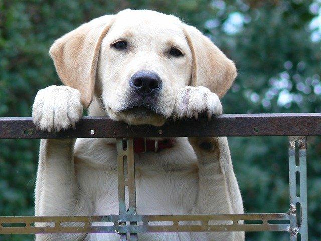Enfermedades de los perros labradores: conócelas