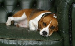 ernia ombelicale nel cane