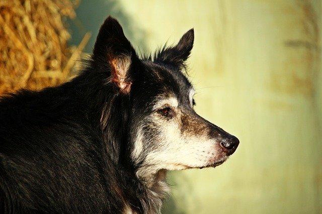 Enfermedades de los perros adultos: conócelas