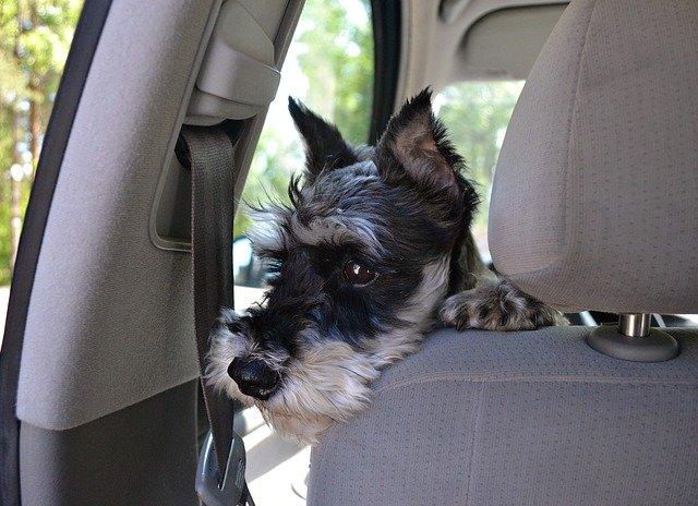 Animali in vacanza: i cani soffrono il mal di macchina?