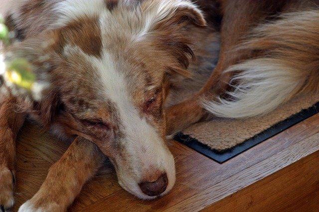 Cane che si fa la pipì addosso mentre dorme, perché?