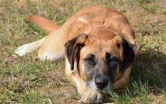 cane dominante o remissivo