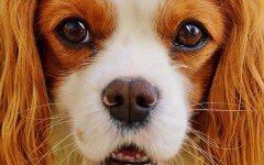 Razas de Perros: perro Toy Spaniel Inglés caracteristicas