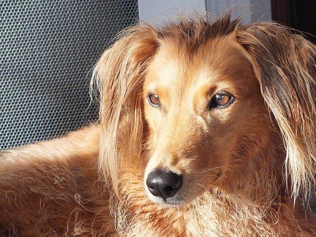 Razze Cani: il cane Saluki, carattere e prezzo