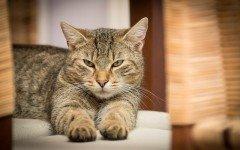 Enfermedades de los gatos: Hipertiroidismo felino